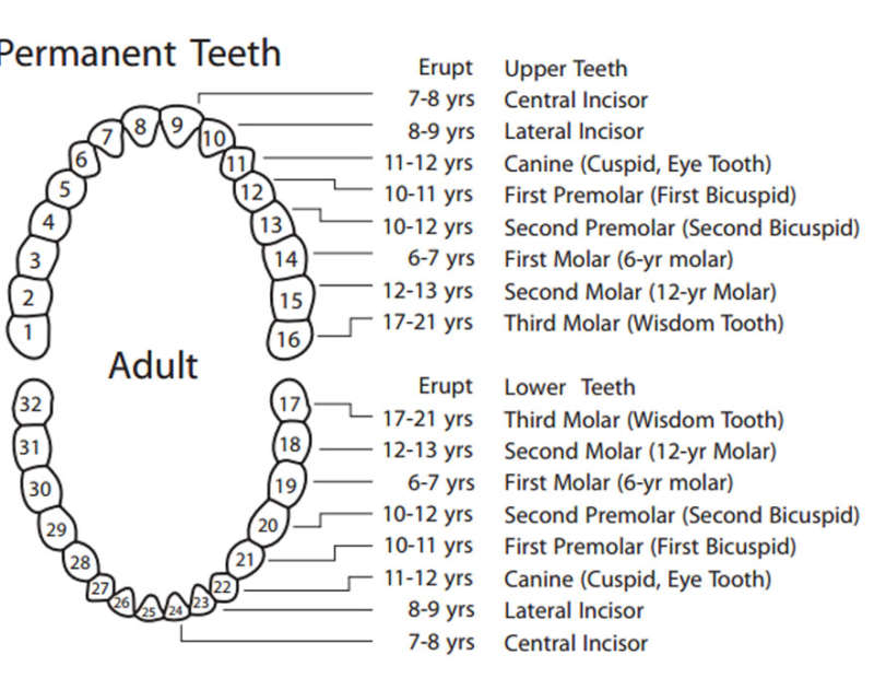 Eruption Chart Adult Teeth
